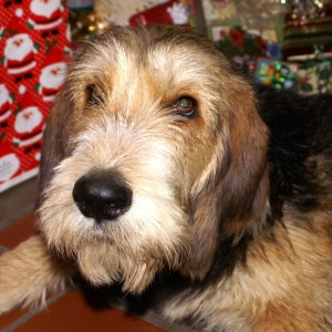 B Litter Otterhound Blossom Christmas 2009