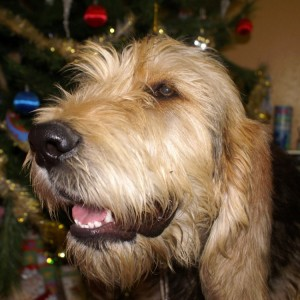 B Litter Otterhound Bonney Christmas 2009