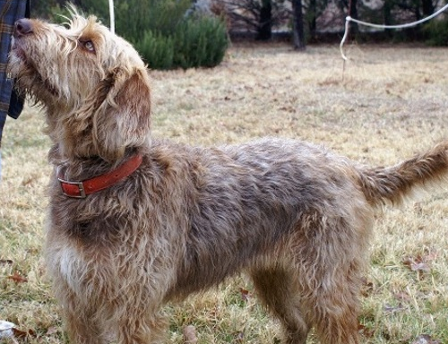 Clara Otterhound