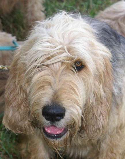B Litter Otterhound, Bonney