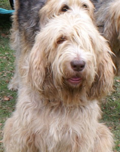 Nicky Otterhound dogs