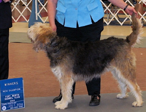 Quick Otterhound Champion