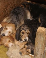 Hunter's Otterhound C litter 10 weeks