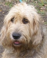 Goodbye Pris, Otterhound Dog News
