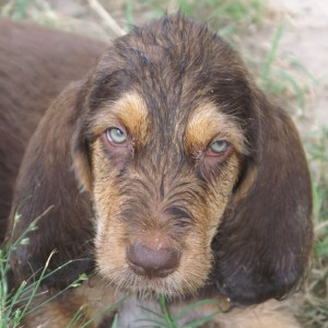2 Face Corrigan C Litter Otterhound