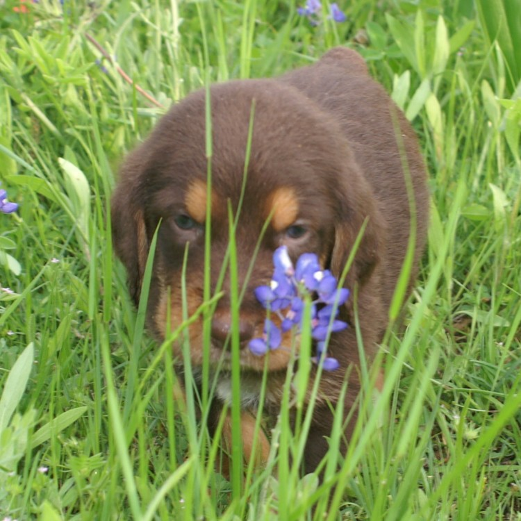2 Bluebonnets Corrigan C Litter Otterhound