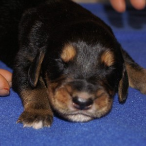5 Clint Newborn Otterhound Puppy