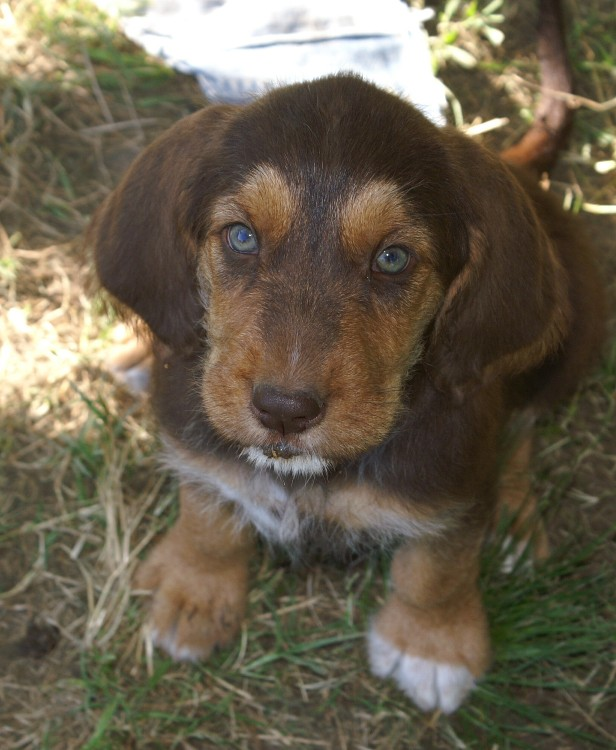 C Litter Otterhound Puppy, Cheyenne