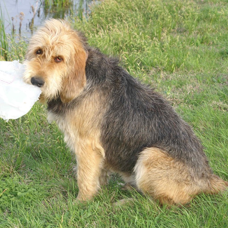 Barclay sitting April 2010 Otterhound Champion