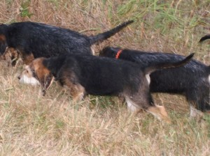 B Litter Otterhound Briscoe Pond 9-4