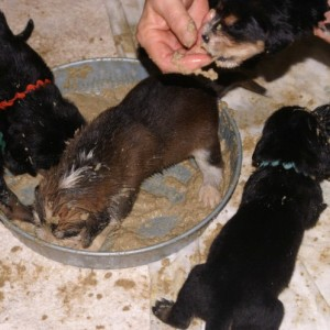 B Litter Otterhounds First Feed July 11, 2009