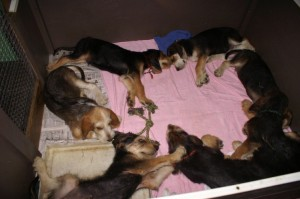 B Litter Otterhounds long day Sept 5