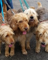 More Hunter Otterhounds Coming!