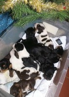 D Litter Christmas Otterhound  Puppies Week 2