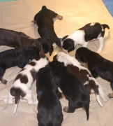 D Litter Otterhound Puppies 4 Weeks Old