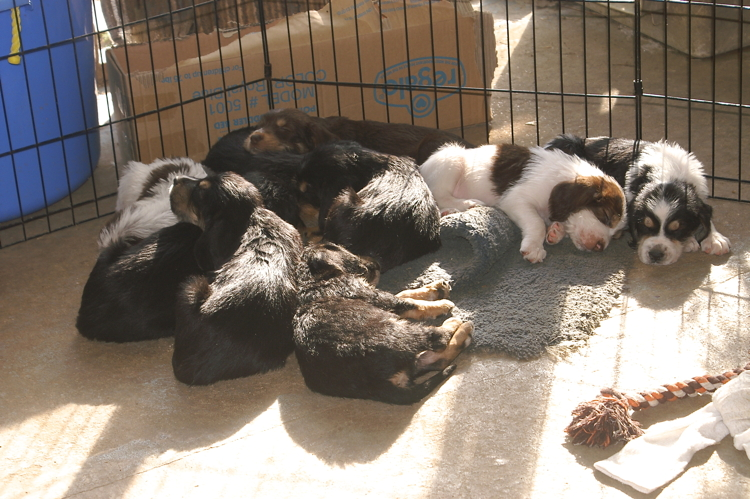 D litter Otterhound, 5 weeks,