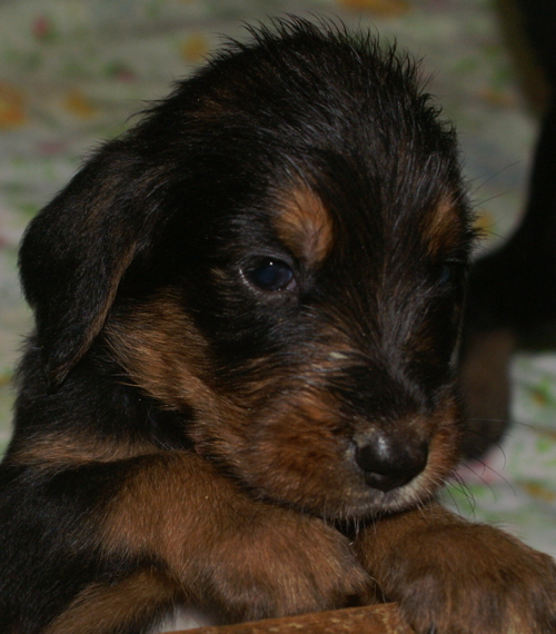 Ebony Otterhound Puppy 4 weeks