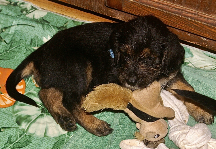 Elsa Week 5 Otterhound