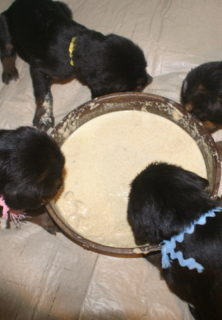 E Litter Otterhound Puppies One Month