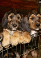 E Litter Otterhound Girls are 10 Weeks Old