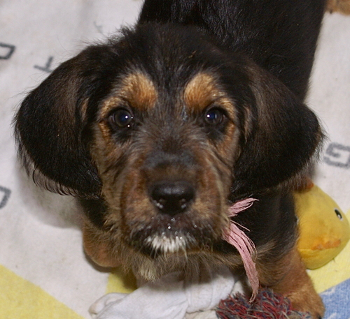 7 Week Old Otterhounds Ebony