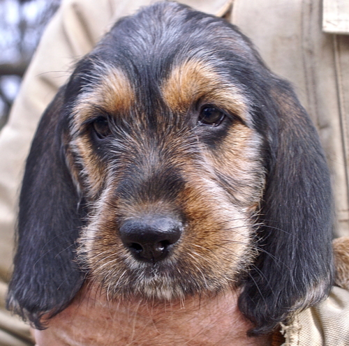 Ebony Otterhound Puppy is 9 weeks old