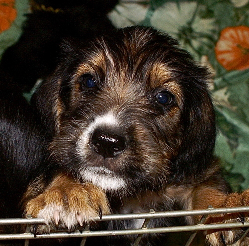 Electra 7 Week Old Otterhound Puppy