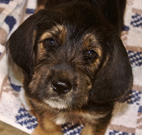 Elsa 7 Week Otterhound Puppy