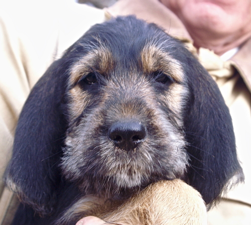 Elsa Otterhound Puppy is 9 weeks old