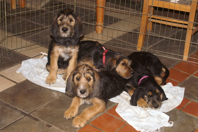12 Week Otterhound E Litter