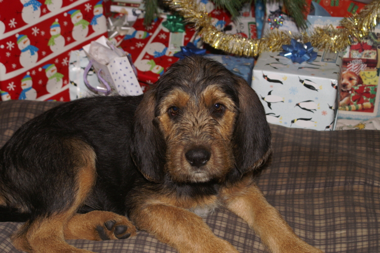Ebony Christmas Otterhound 11 Weeks