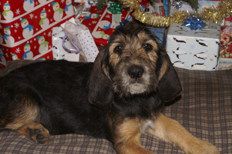 Elsa Christmas Otterhound 11 Weeks