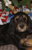 Emilee Christmas Otterhound 11 Weeks