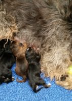Presenting the F Litter Otterhound Puppies