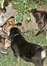 Hunter Otterhound Litter F at 8 Weeks