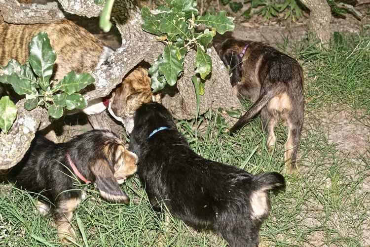 Hunter Otterhound Litter F 8 weeks With Daisy