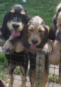 F Litter are now 11 Week Otterhound Puppies
