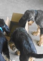 F Litter are 10 week old Otterhounds