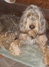 Forest Otterhound Face