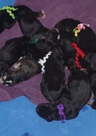 Hunter G Otterhound Litter of Puppies.