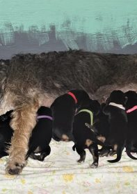 G Litter Otterhound Puppies Texas 2 Weeks