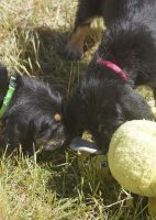 7 Week G Litter Otterhound Puppies Play