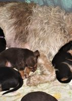 H Litter Texas Otterhound Pups turn 5 Weeks