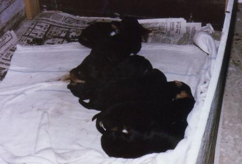Otterhound Puppies May 1981
