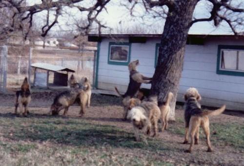 Otterhounds Treeing Squirrels 1984