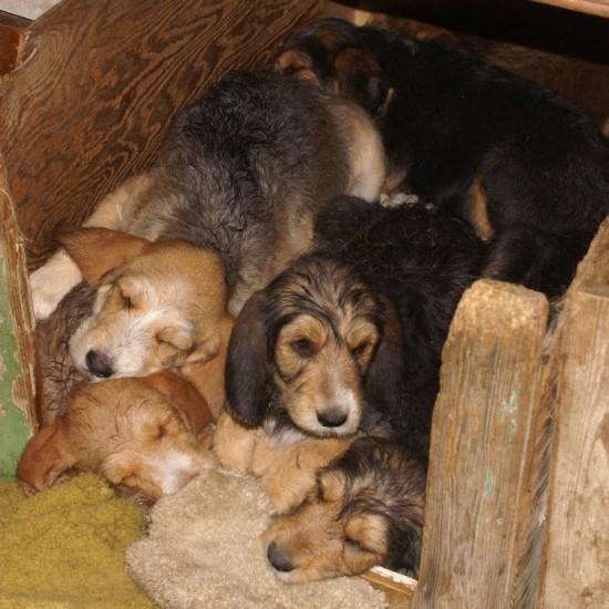 Hunter's Otterhound C litter 10 weeks