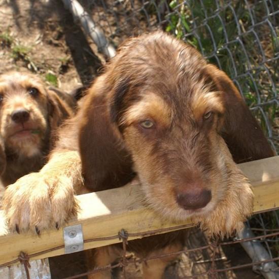 Hunter's C Otterhound litter gone home