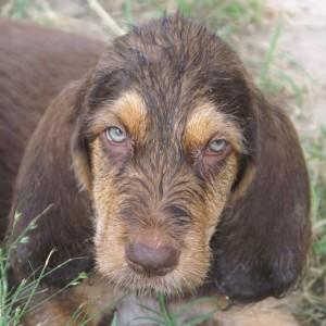 2 Face Corrigan C Litter Otterhound