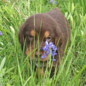 2 Bluebonnets Corrigan C Litter Otterhound