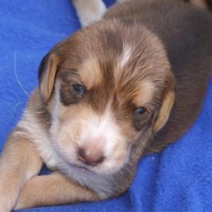 6 Celeste Diva Puppy